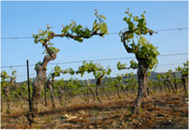 Trellising vineyard