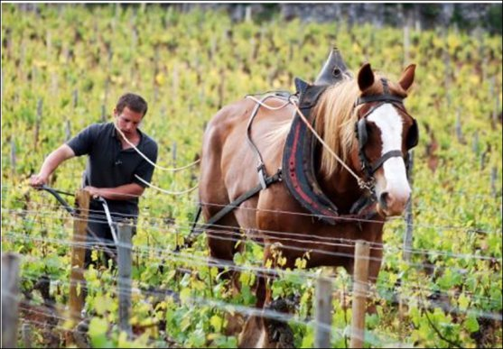 Work with a horse in the vineyard