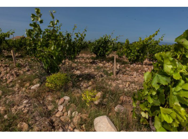 Let grass grow in the vineyards: Why? Part 1