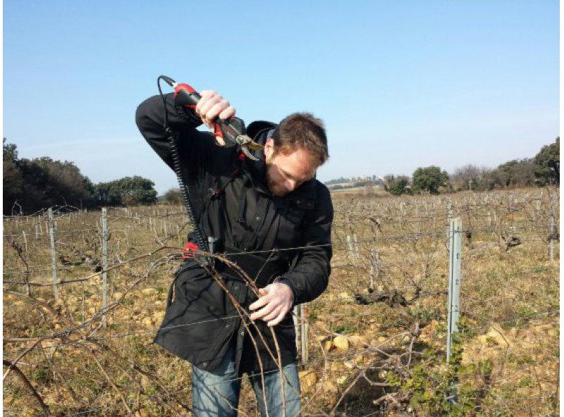 Pruning - A strategic work in the vineyard