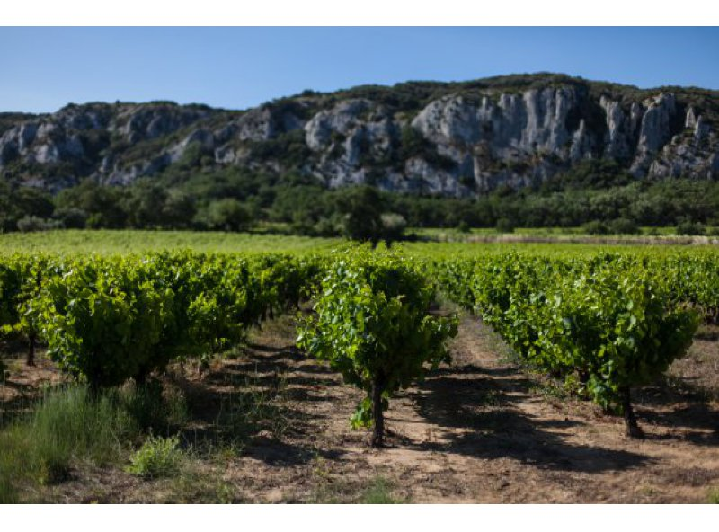 Resistant grape varieties : are there the ecological future of vineyards ?
