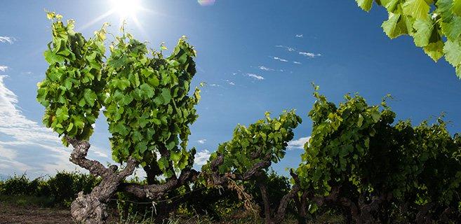 Vigne de Côtes du Rhône ensoleillée