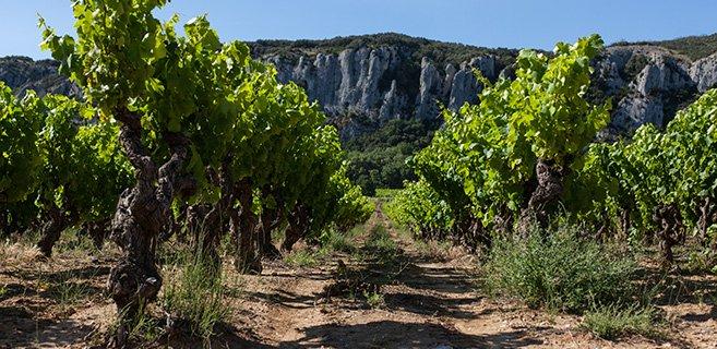 Vieille vigne de Grenache à Saint Genies de Comolas